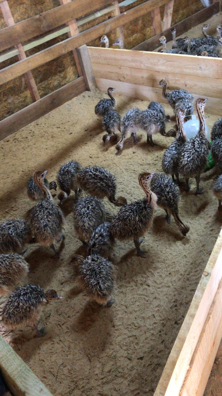 Вот так выглядят месячные страусята